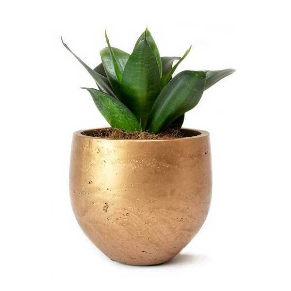 Sansevieria Black Dragon (Snake Plant) - Indoor Plants