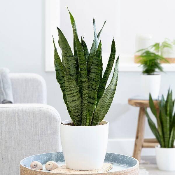 Sansevieria zeylanica (Snake Plant) - Indoor Plants