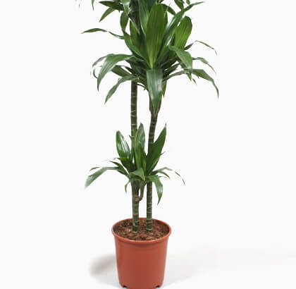 Dracaena deremensis | Janet Craig Dracaena - Indoor Plants