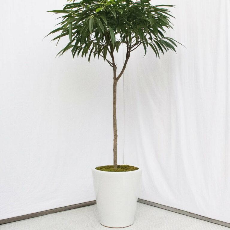 Ficus Alii (Ficus binnendijkii 'Alii') - Indoor House Plants