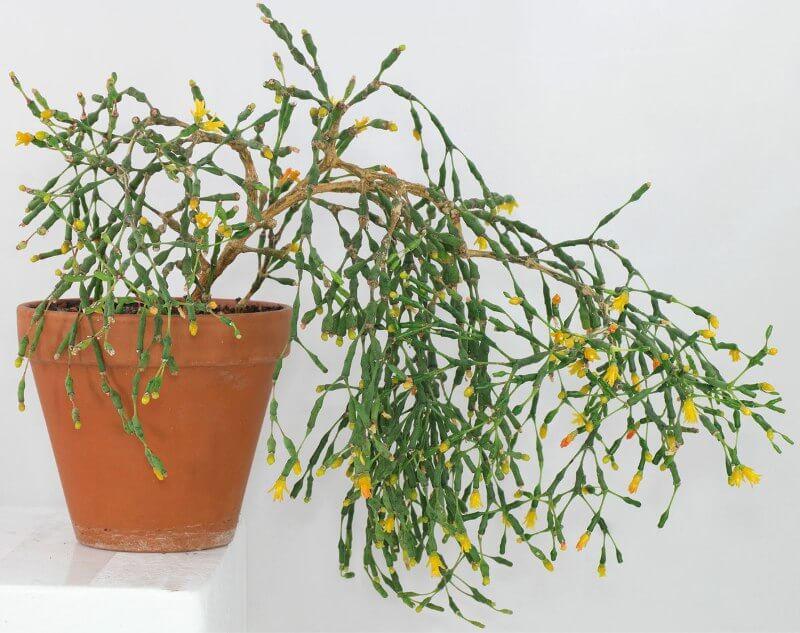 Dancing Bones Cactus (Hatiora salicornioides) - Indoor Plants