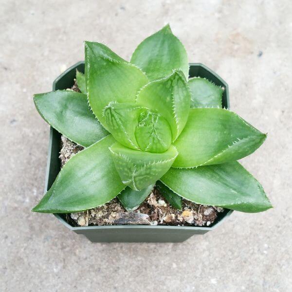 Haworthia cymbiformis - Succulent plants