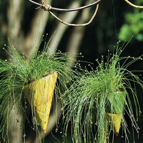 Fiber Optic Grass | Isolepis cernua - House Plants