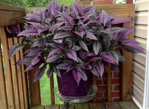 Persian Shield Plant (Strobilanthes dyerianus) - Indoor Plants