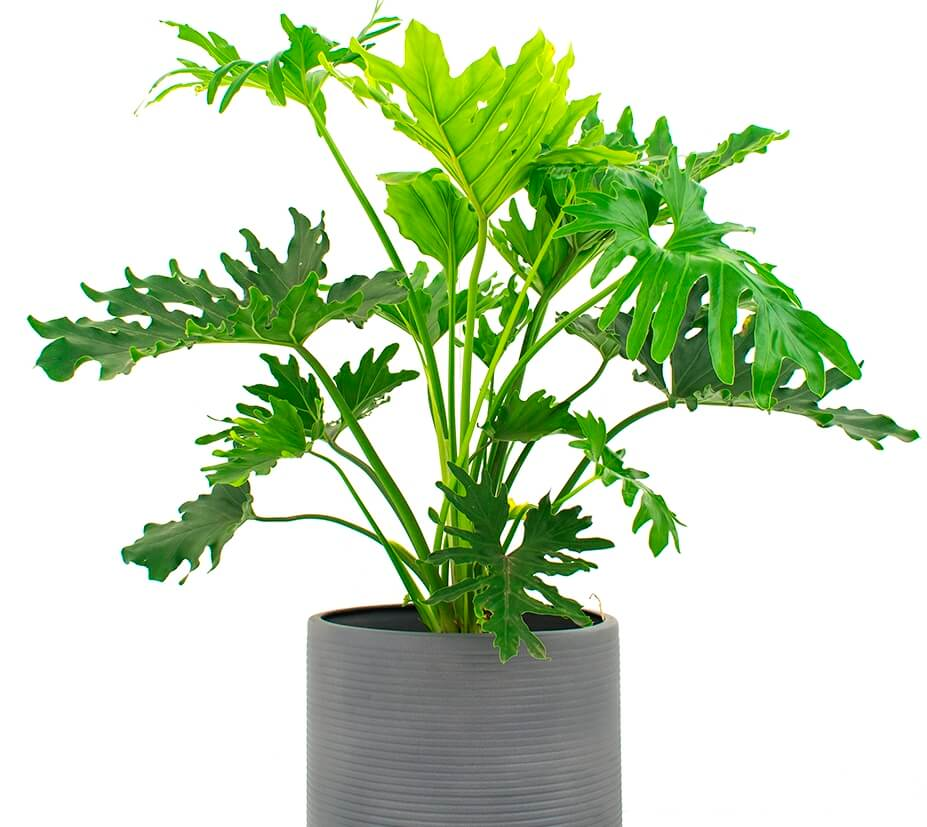 Philodendron Lickety Split Indoor Plant