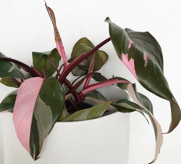 Pink Princess Philodendron - Indoor Plants