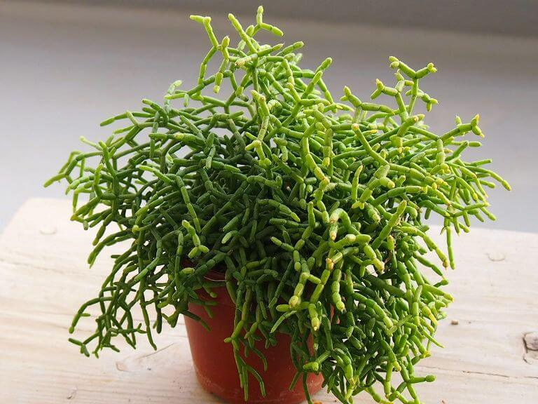 Rhipsalis Cereuscula (Rice cactus) - Indoor Plants