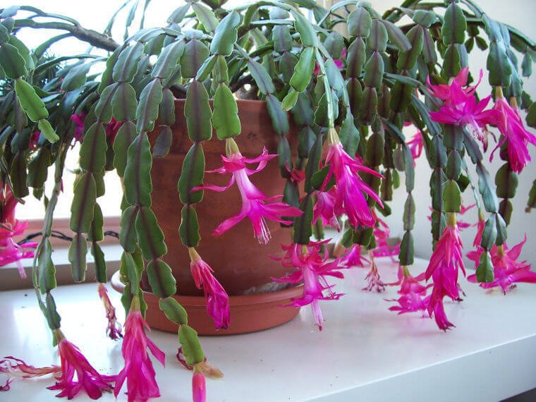 Christmas Cactus (Schlumbergera bridgesii) - Flowering plants