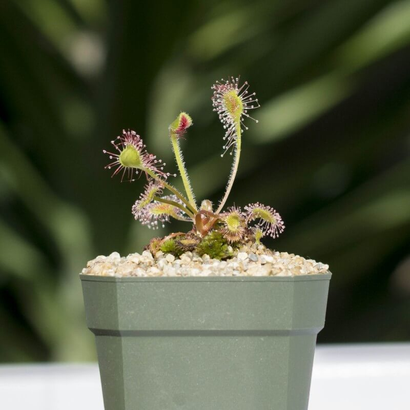 Sundew (Drosera rotundifolia)- House Plants