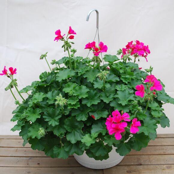 Ivy Geranium (Pelargonium peltatum) - Flowering plants