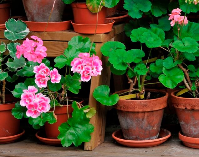 Martha Washington Geranium (Pelargonium domesticum) - Flowering plants