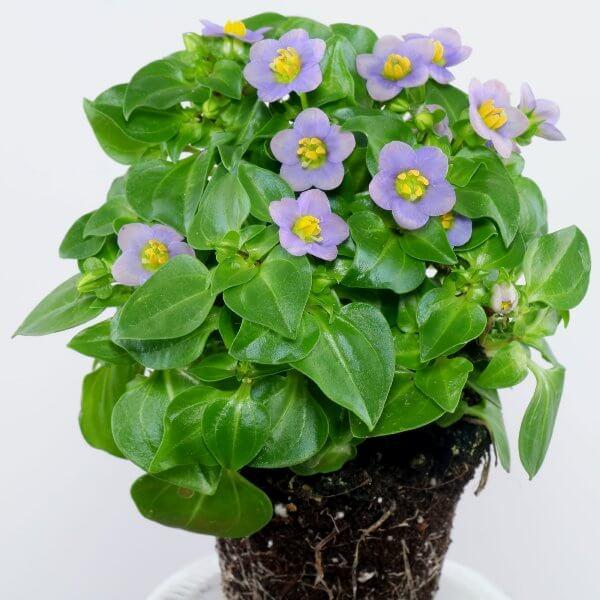 Persian Violet (Exacum affine) - Flowering plants