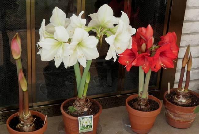 Amaryllis - Flowering plants