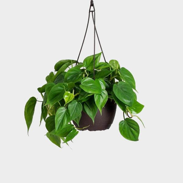 Heart Leaf Philodendron (Philodendron cordatum) - Indoor Plants