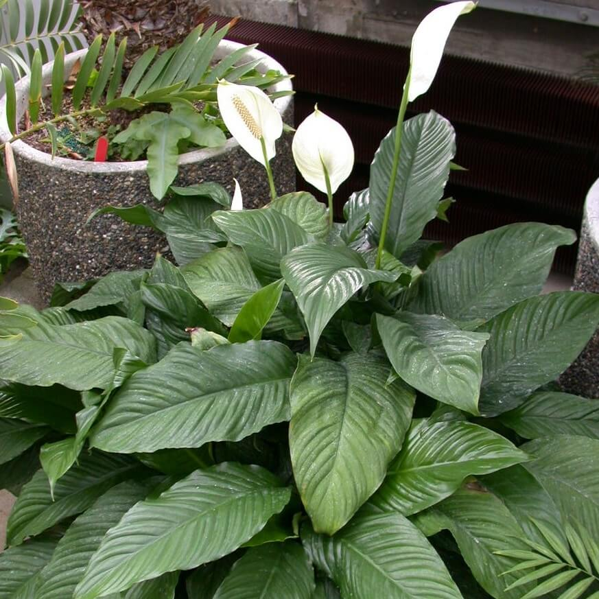 Peace Lily (Spathiphyllum 'Mauna Loa') - Indoor Plants