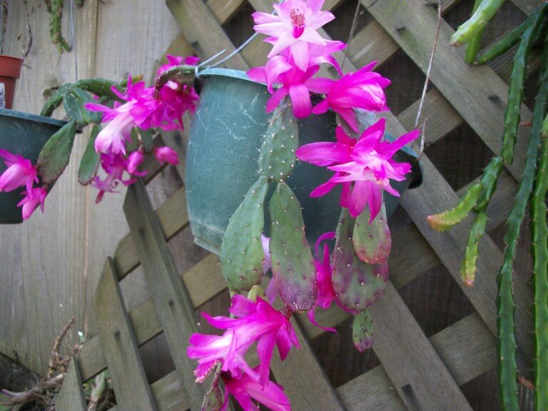 Schlumbergera opuntioides - Cactus Plants
