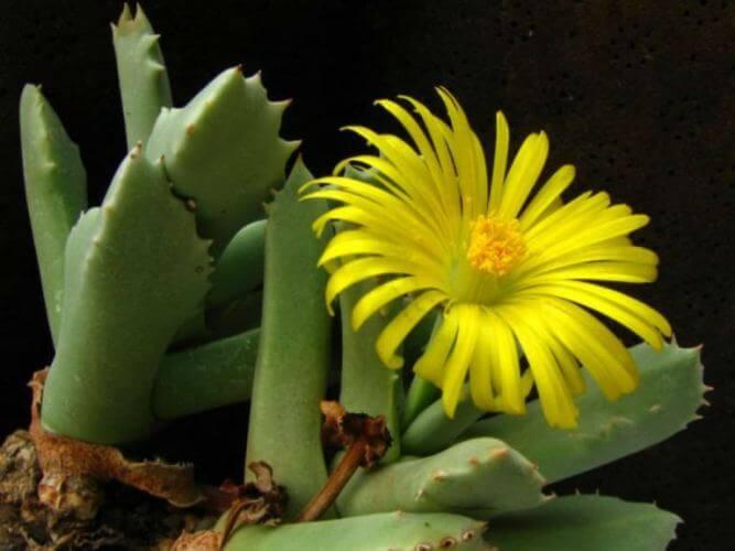 Schwantesia marlothii - Succulent plants