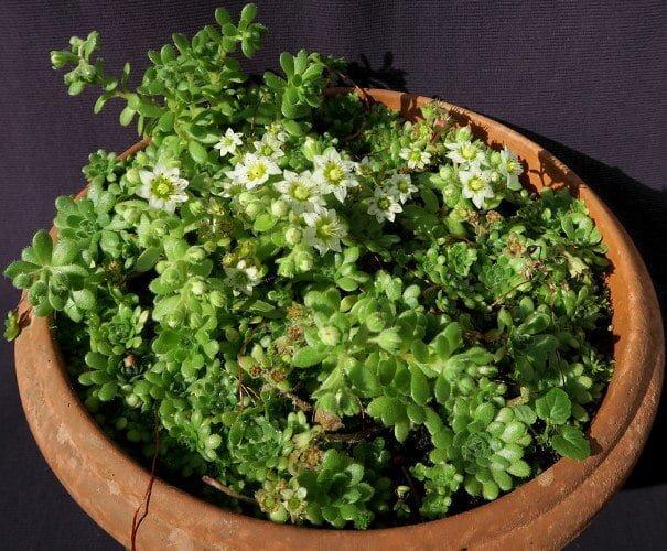 Sedum sedoides - Succulent plants