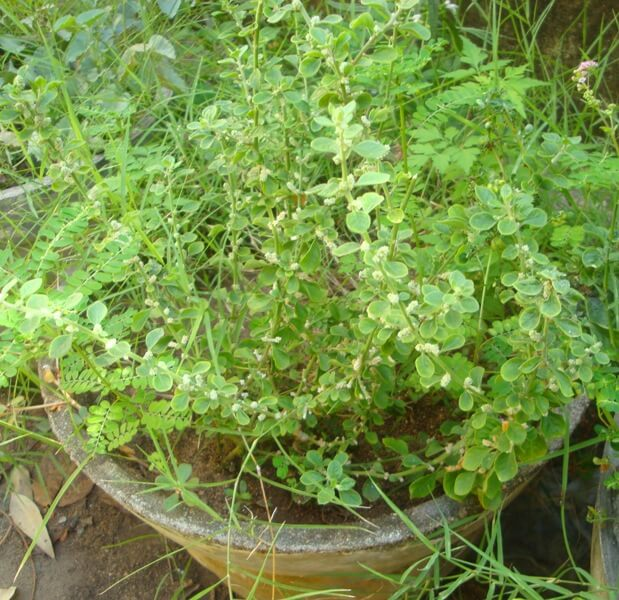 Aerva lanata (Mountain knotgrass)