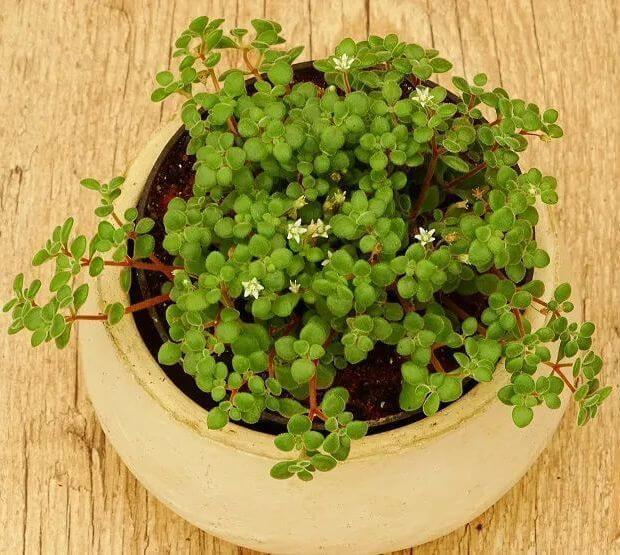 Crassula expansa subs succulent plant 6cm fragilis