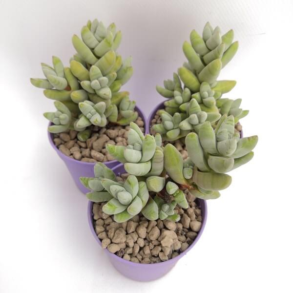 Crassula grisea - Succulent plants