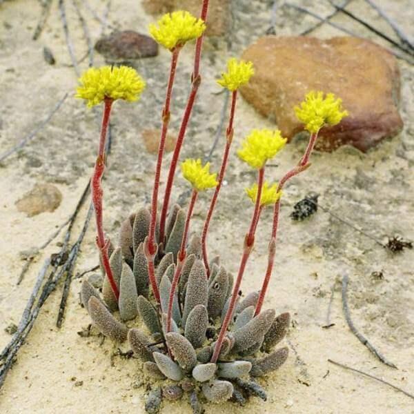 Crassula namaquensis subsp. lutea - Succulent plants