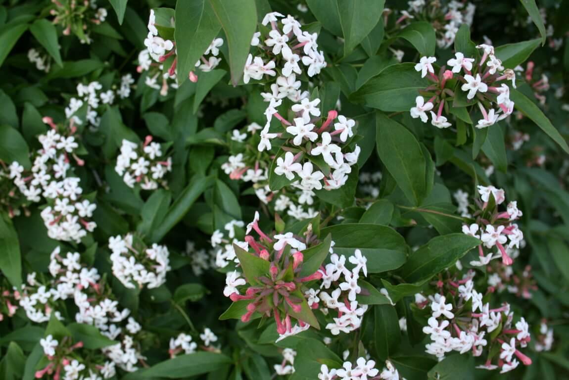 Fragrant abelia - Flowering plants