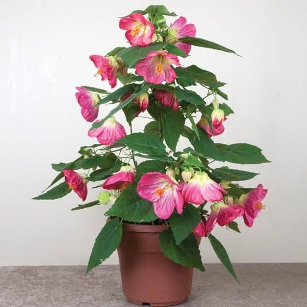 Abutilon 'Pink Parasol' (Flowering Maple)