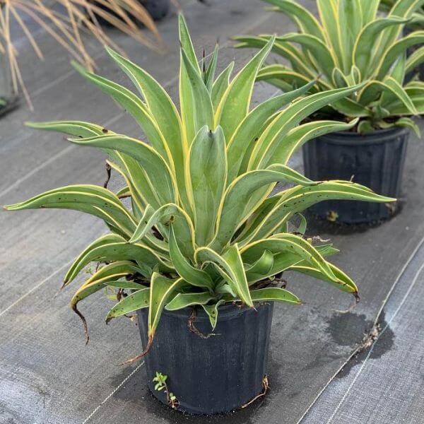Agave desmettiana Variegata - Succulent plants