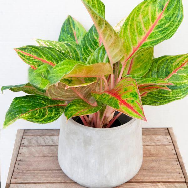 Aglaonema Golden Fluorite - Indoor Plants