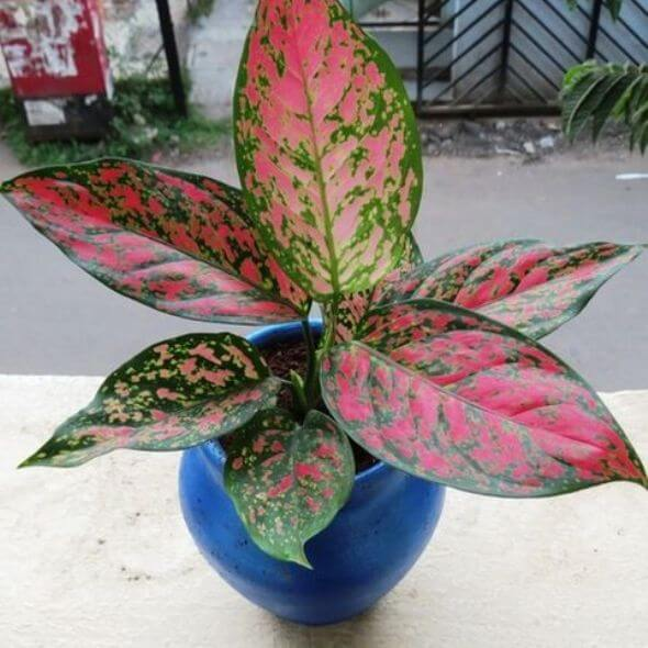 Aglaonema Red Wishes