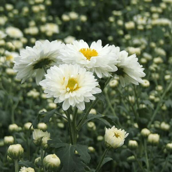 Mums (Chrysanthemum indicum)
