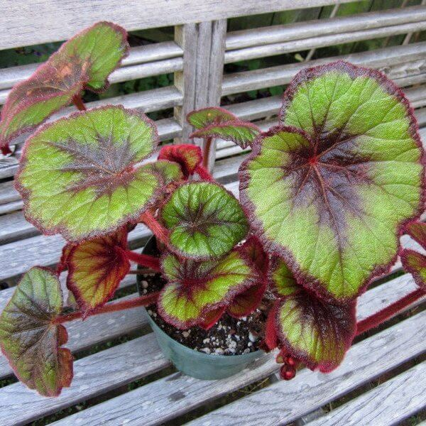 Begonia 'Curly Fireflush' - Indoor Plants