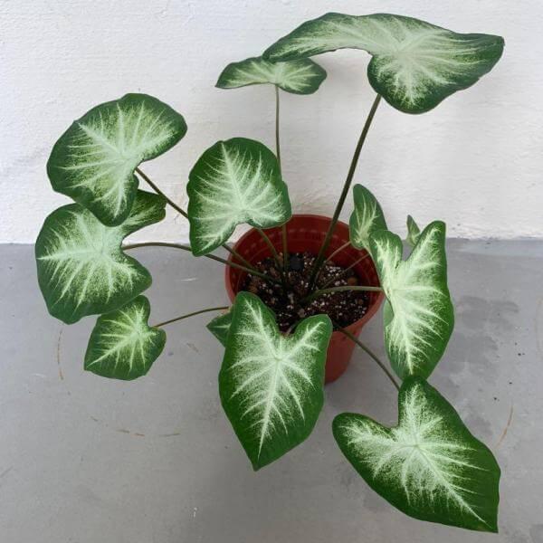Caladium 'Aaron' - Foliage Plants