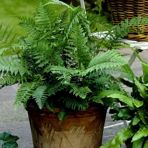 Lady fern Athyrium filix femina Fern plants