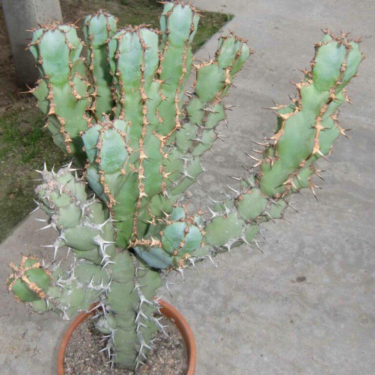 Euphorbia caerulescens - Succulent plants