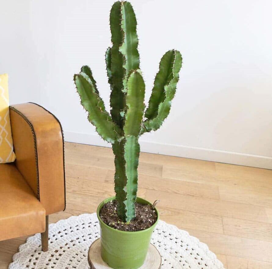 Euphorbia erythraeae - Succulent plants