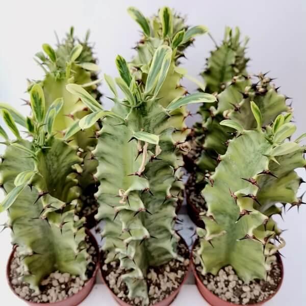 Euphorbia erythraeae f. variegata - Succulent plants