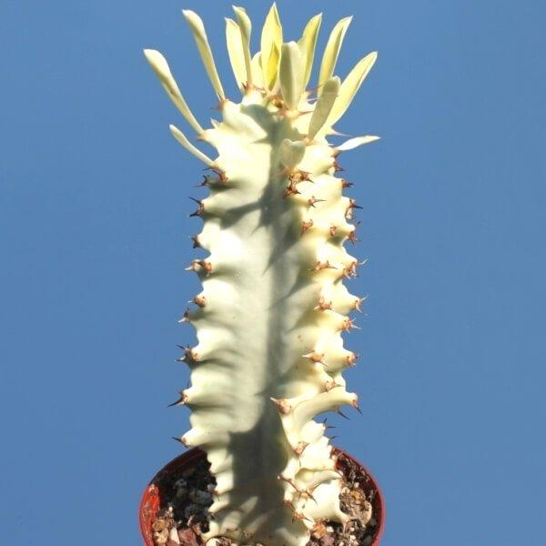 Ghost Euphorbia