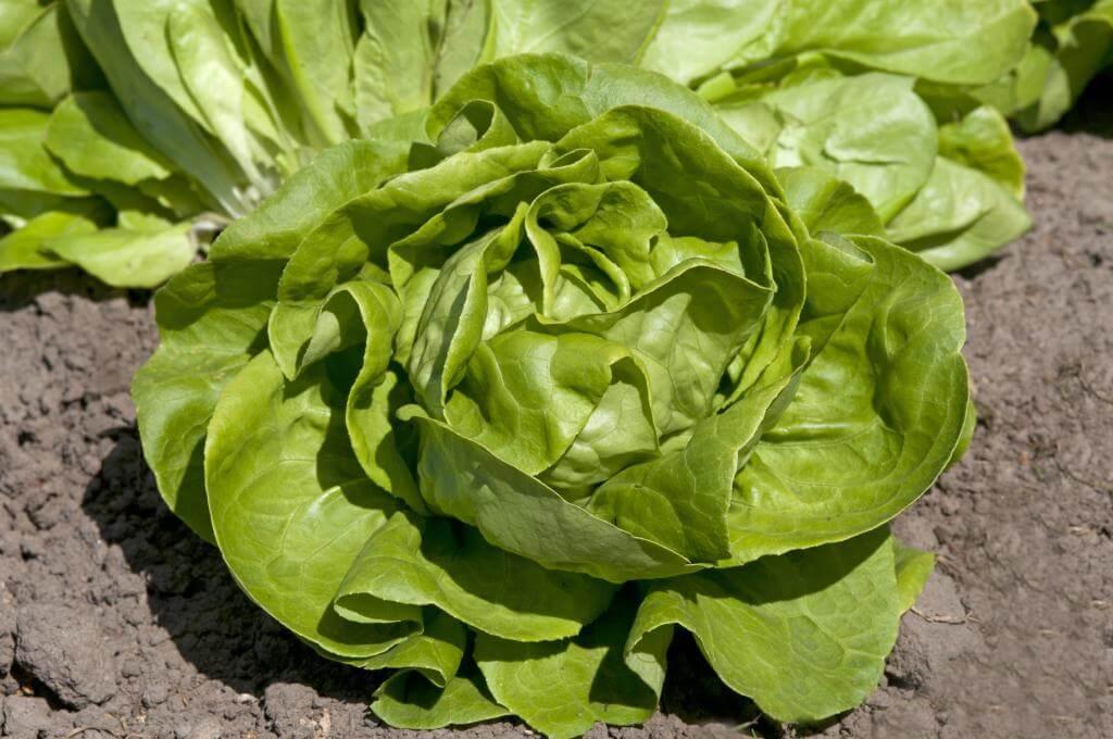 Butterhead lettuce - Vegetable garden