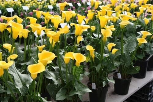 Calla Lily Millennium Gold - Indoor Plants