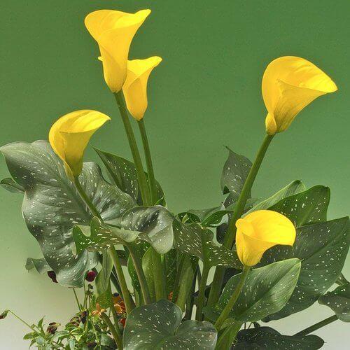 Golden Chalice Calla Lily