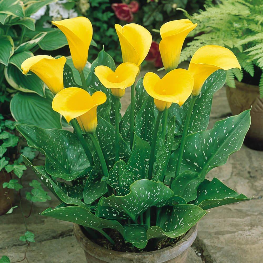 Golden calla lily (Zantedeschia elliottiana)