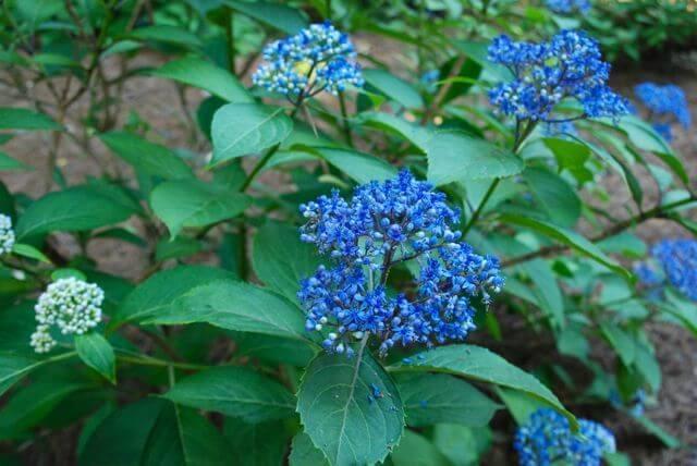 Hydrangea febrifuga - Flowering plants