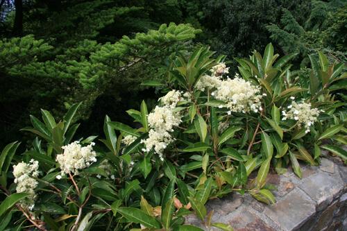 Hydrangea integrifolia