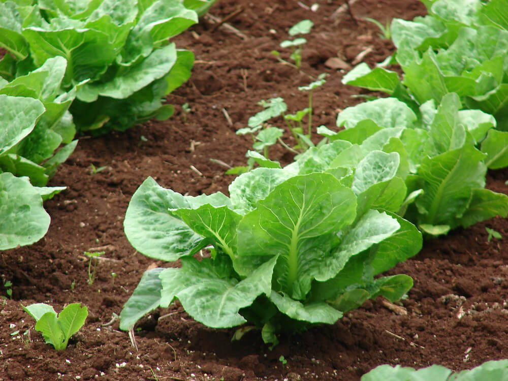 Lettuce (Lactuca sativa) - Vegetable garden