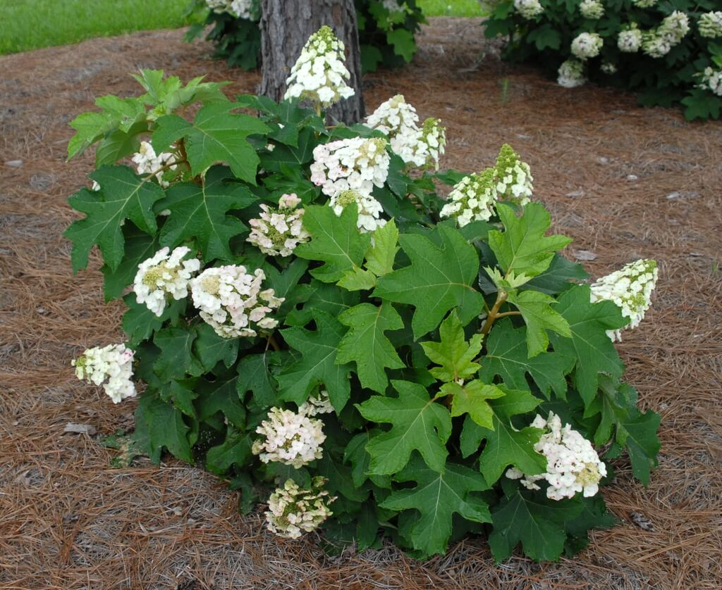 Oakleaf hydrangea - Flowering plants