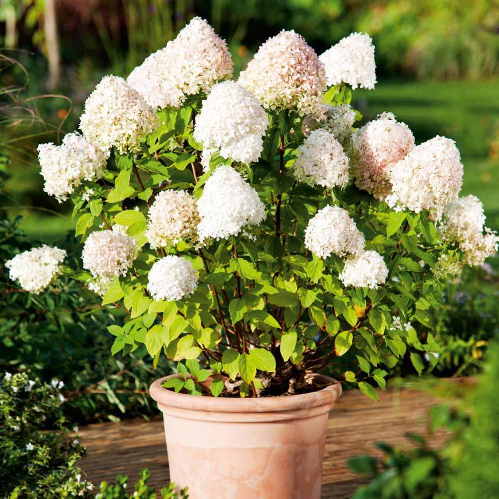 Panicled hydrangea (Hydrangea paniculata) - Flowering plants