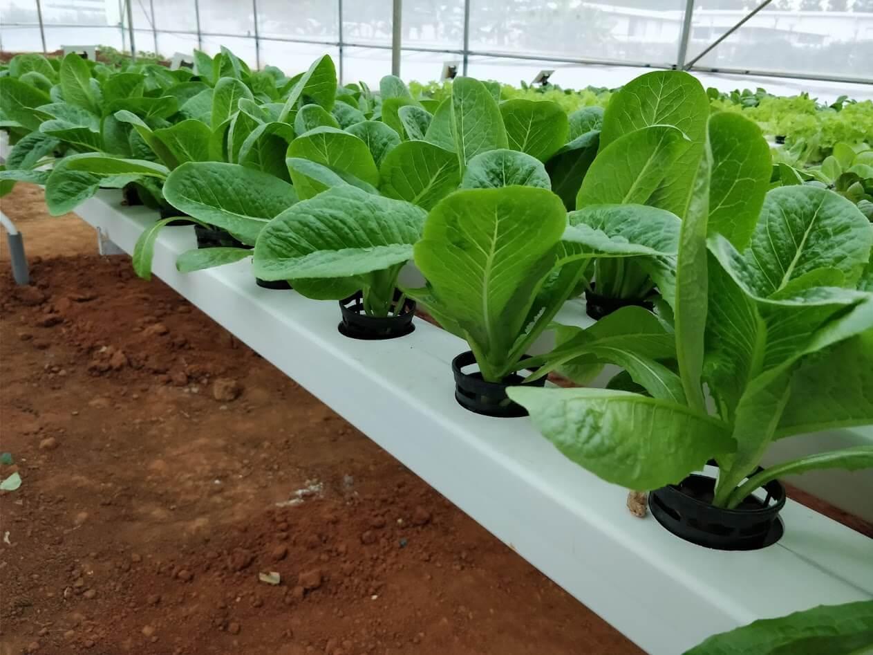 Romaine lettuce - Vegetable garden