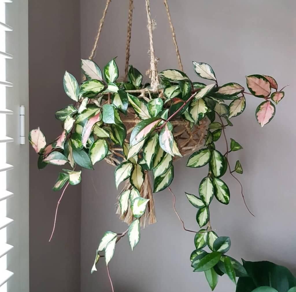 Hoya Carnosa Tricolor - Indoor Plants